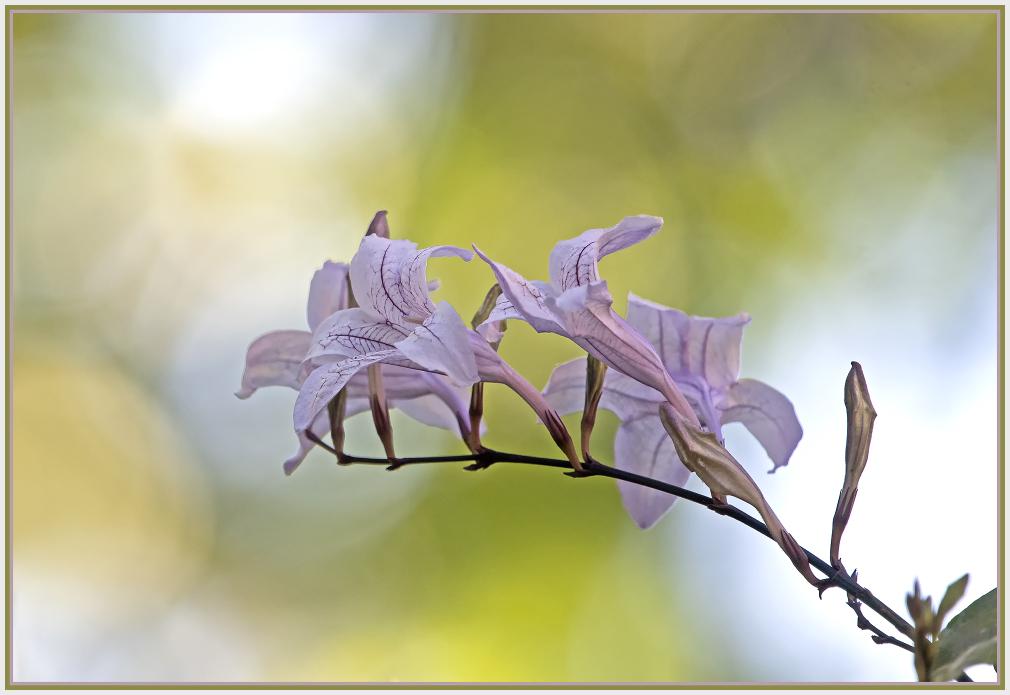 asystasia bella
