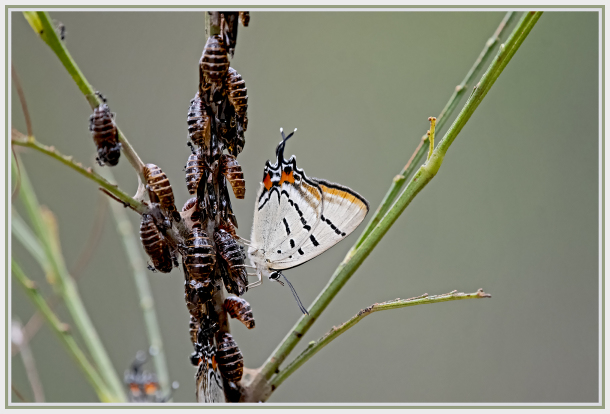 Imperial Hairstreak butterfly (Jalmenus evagoras)