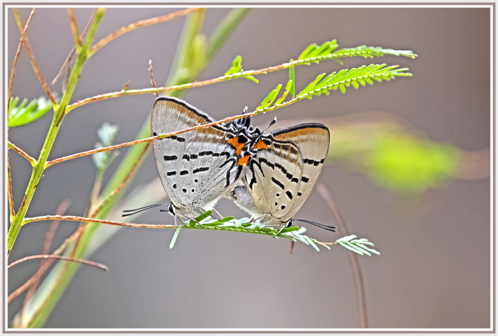 Imperial Hairstreak butterfly Jalmenus evagoras