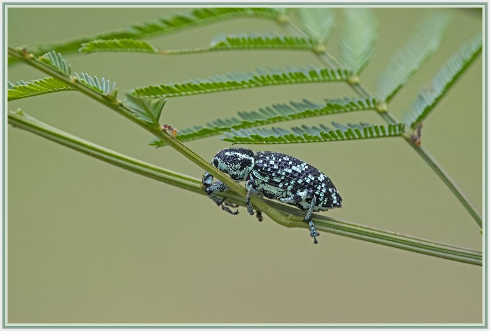 black and blue bug