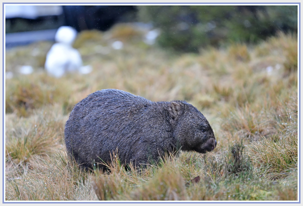 Wombat in the rain
