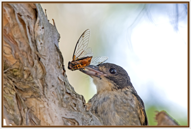 butcher bird and cicadas