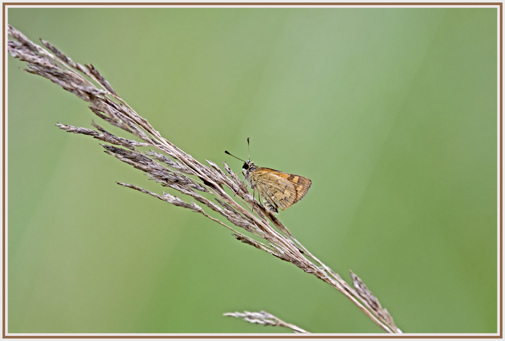 small brown butterfly on brown grass