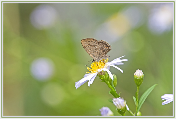 Small butterfly on small daisy