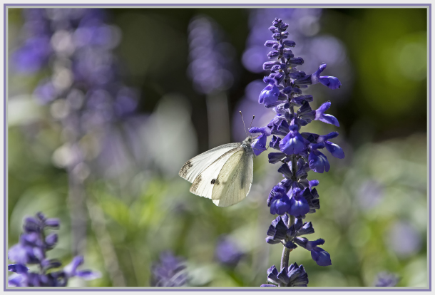 white butterfly in a violet background
