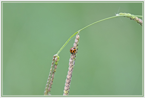 red beetle on grass