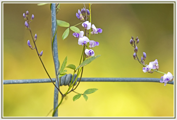 small white and purple flower on a fence