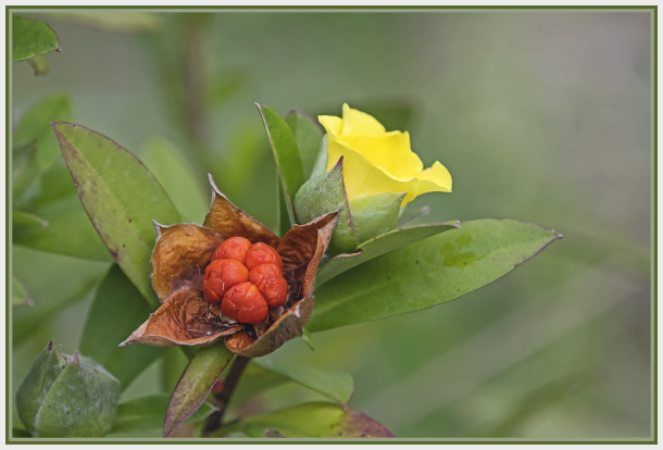 yellow flower with red fruit