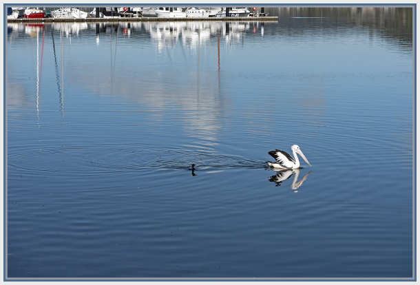 Pelican and cormorant in Gosford