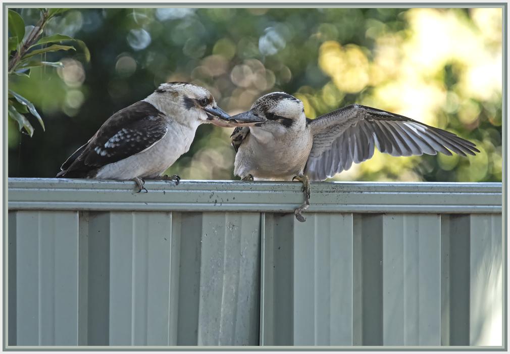 Kookaburras in conflict