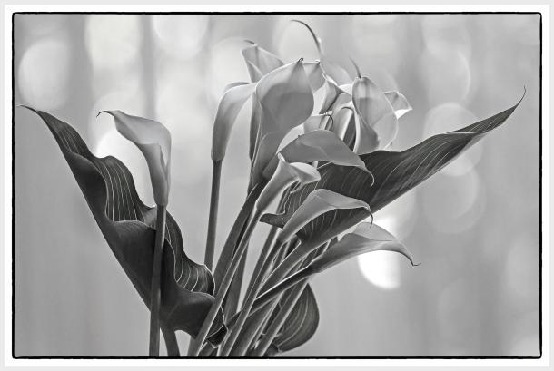 callas lily