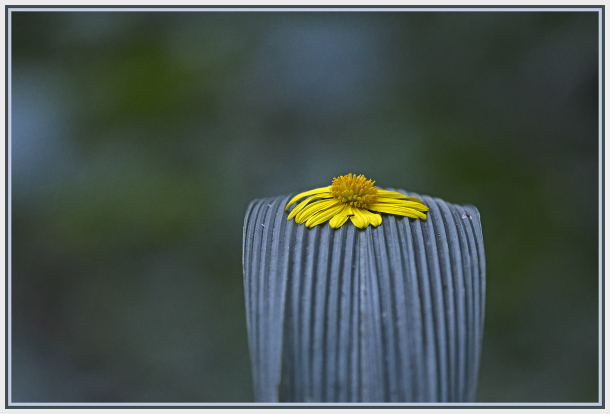 Yellow daisy on green leave