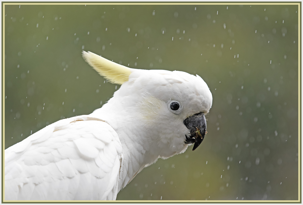 Cockatoo in the rain