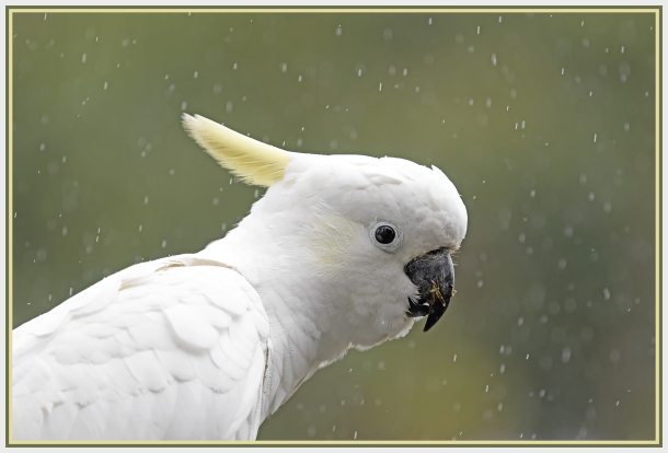 Cockatoo in the rain