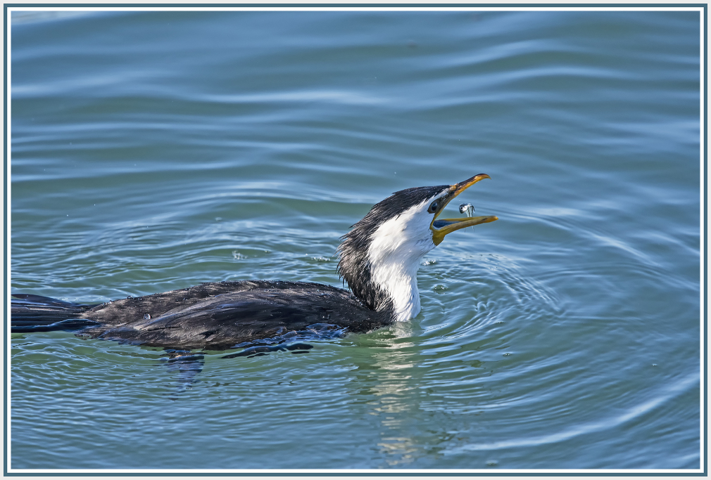 cormorant  little catch