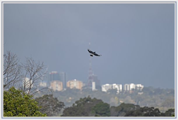 Magpie in city landscape
