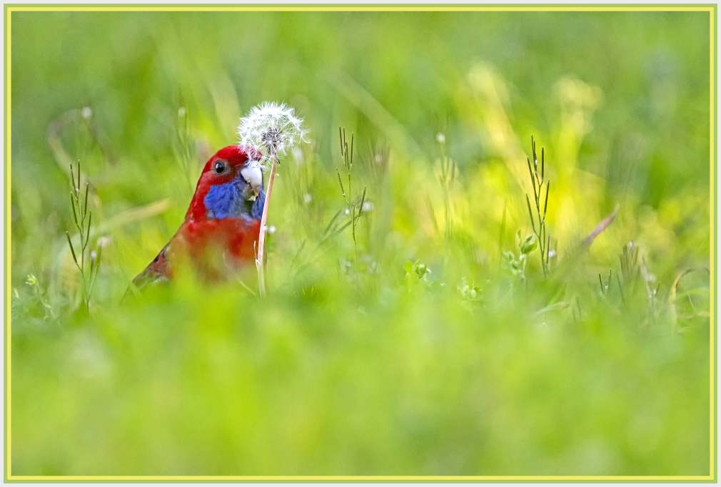 Rosellas and dandelion