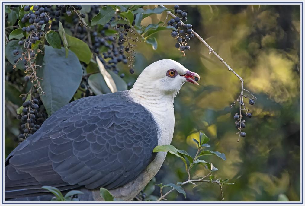 Australian white-headed pigeon