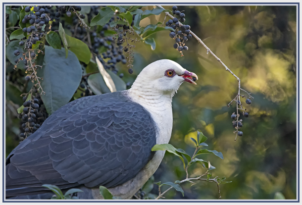 Australian white headed pigeon
