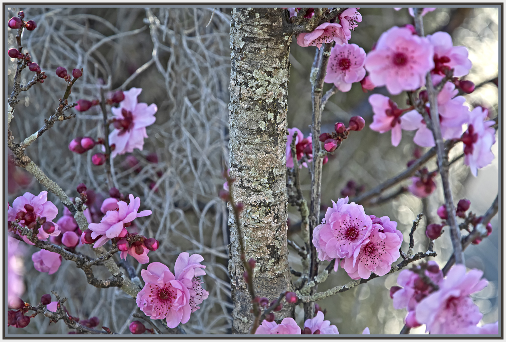 Pink cherry blossom and hanging moss