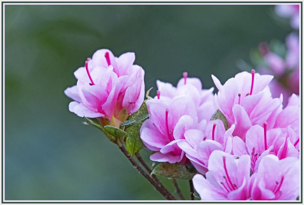 small azalea