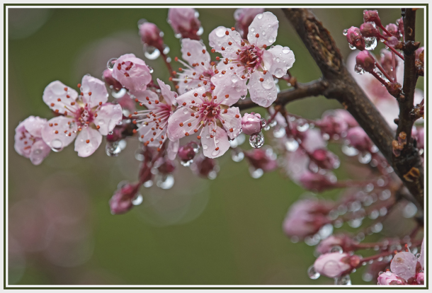 Pink cherry blossom in the rain