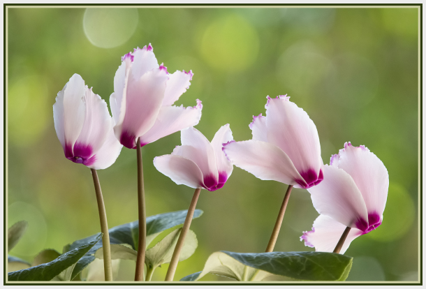 Aminus3 Color Featured photo Cyclamen | 3 September 2019