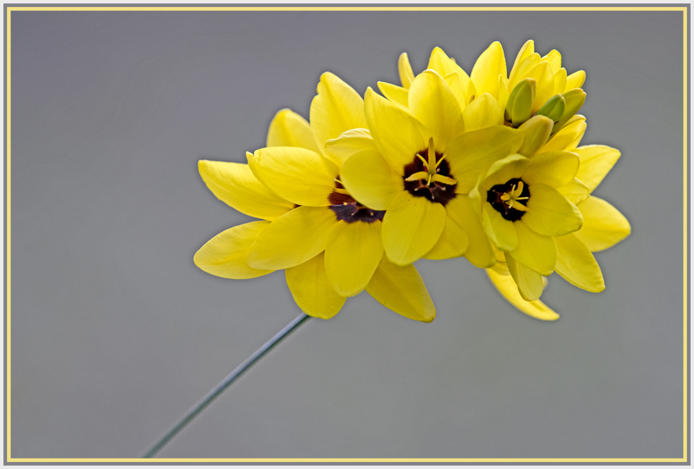 Yellow spring bulb