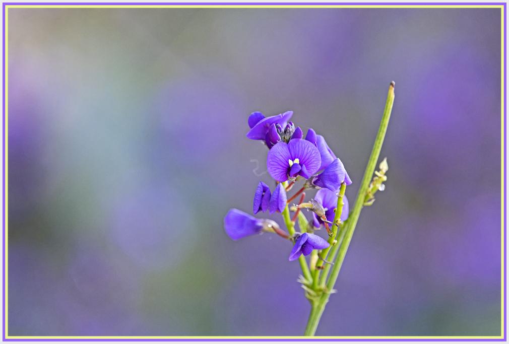 fabaceae purple
