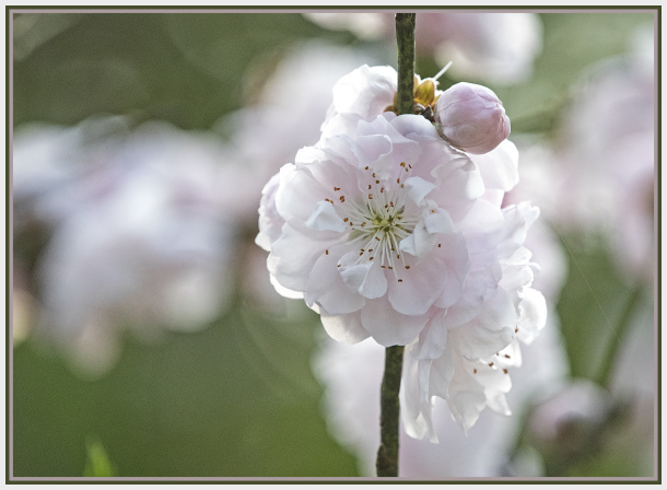 light pink cherry blossom