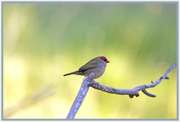 red finch