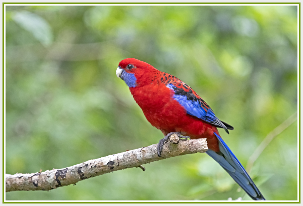 Rosella on a branch