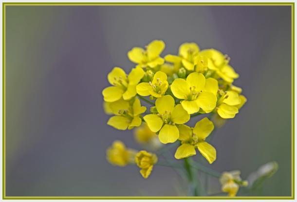 choy sum flower