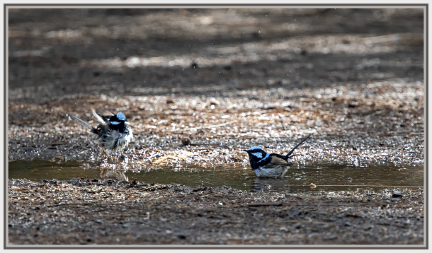 blue wren splashing water
