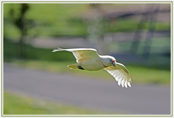 Corella in flight