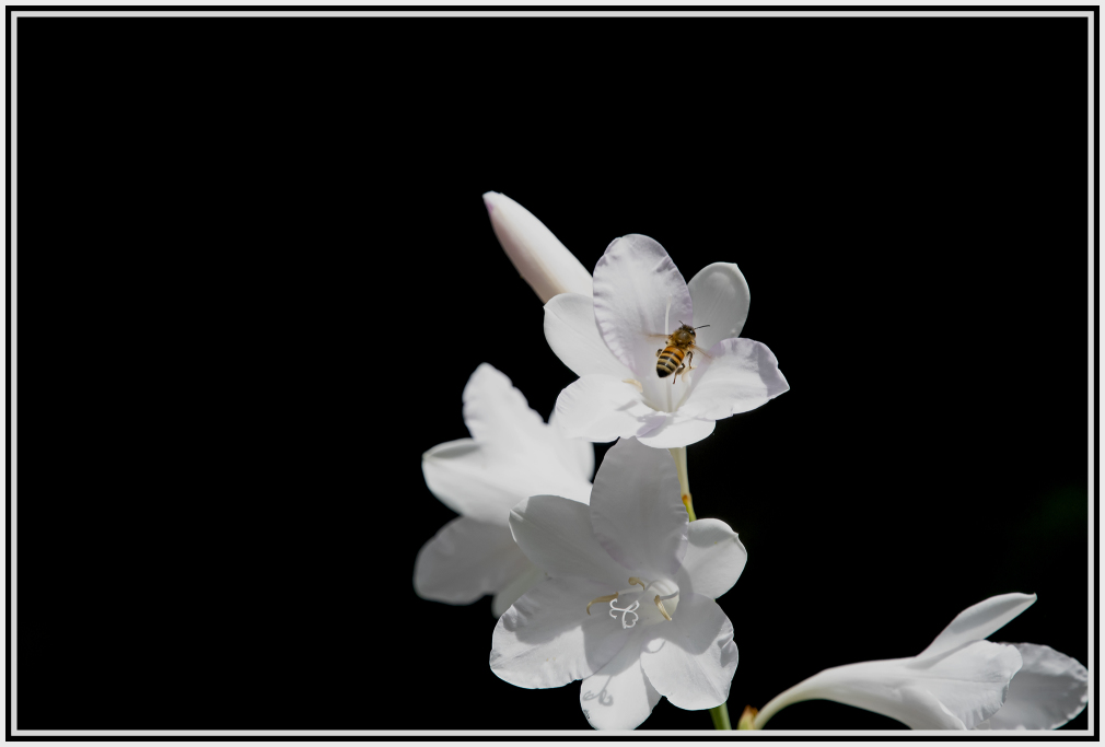 bee flying over gladioli