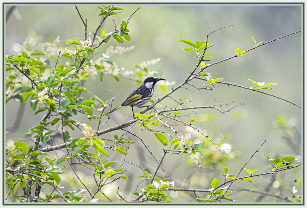 Hollander Honeyeater