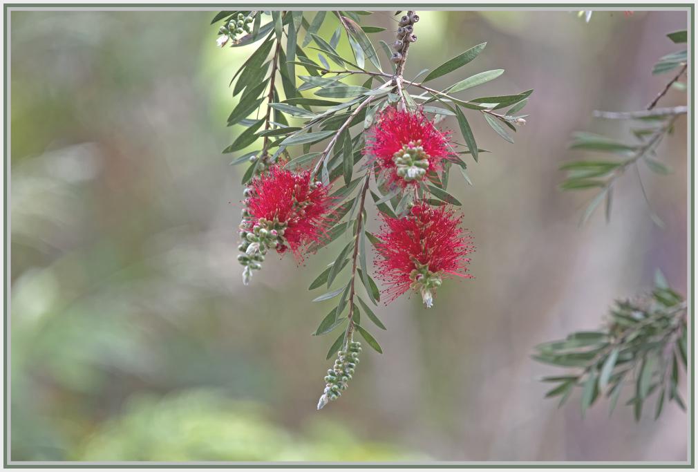callistemon - red bottlebrush