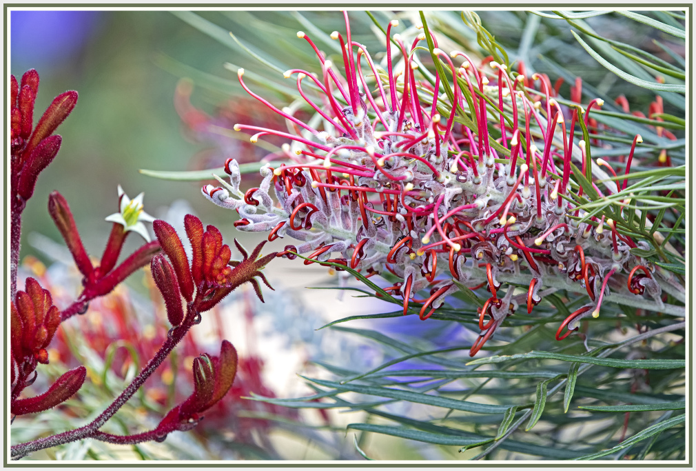 Grevillea and kangaroo paw