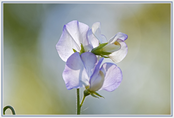 Bean flower