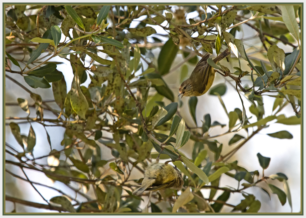 striated thornbill