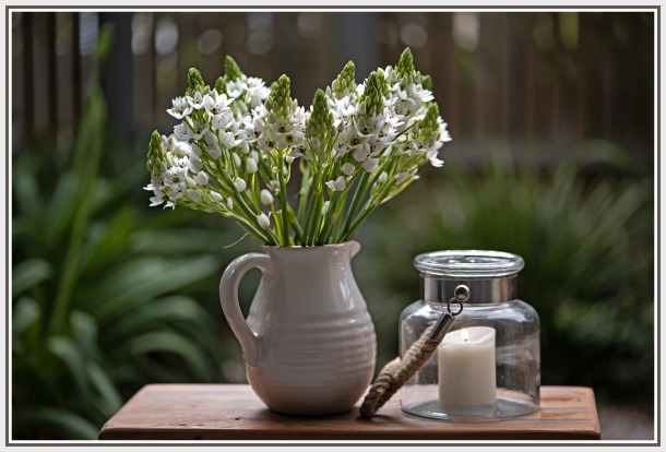 Chincherinchee   Star of Bethlehem