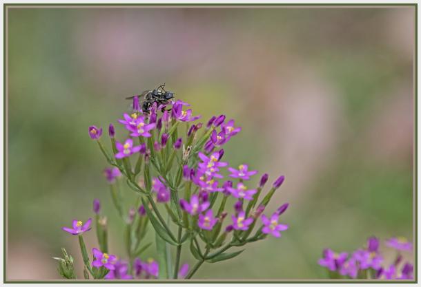 small flies on pink wild flower