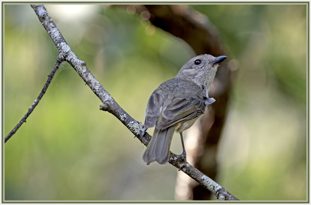 Large-billed Scrubwrens