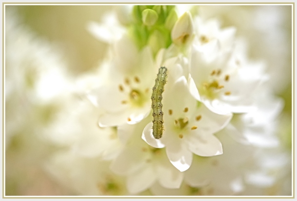caterpillar on chincherinchee