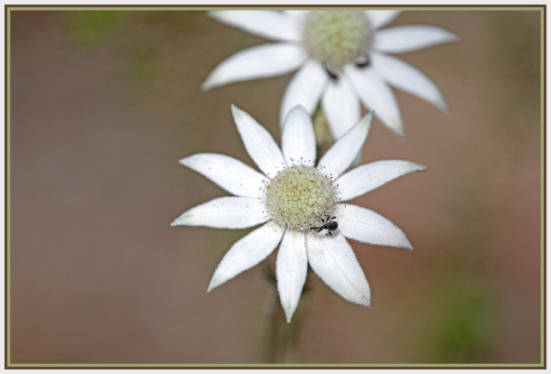 black bug on Actinostus helianthi — Flannel Flower