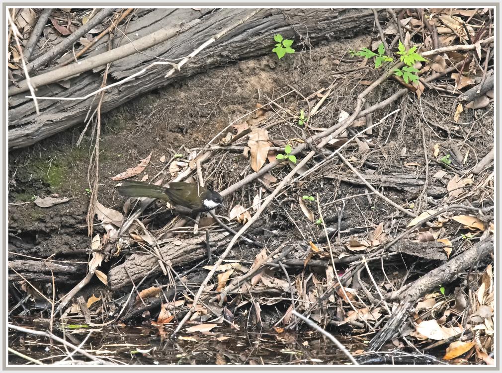 Australian whip bird