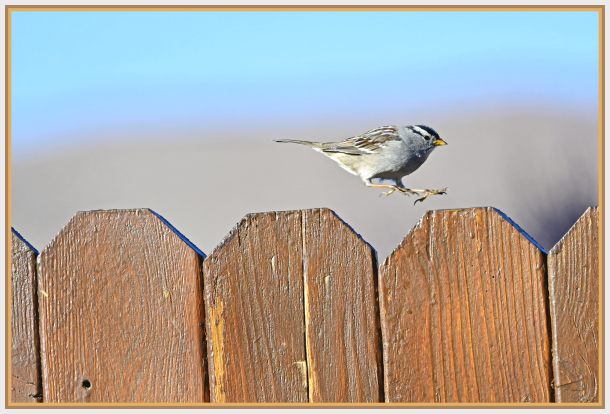 blacked crowned sparrow