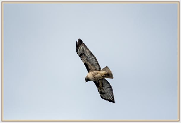 Broad tailed hawk in San Francisco