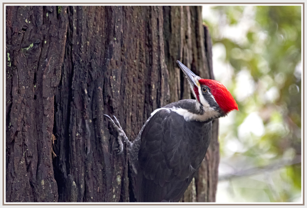 pileated woodpecker - Yosemite